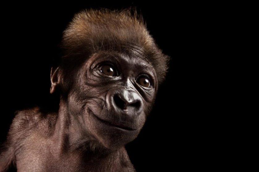 Gladys, uma gorila-do-ocidente de seis semanas (Gorilla gorilla gorilla) no jardim zoológico de Cincinnati, EUA