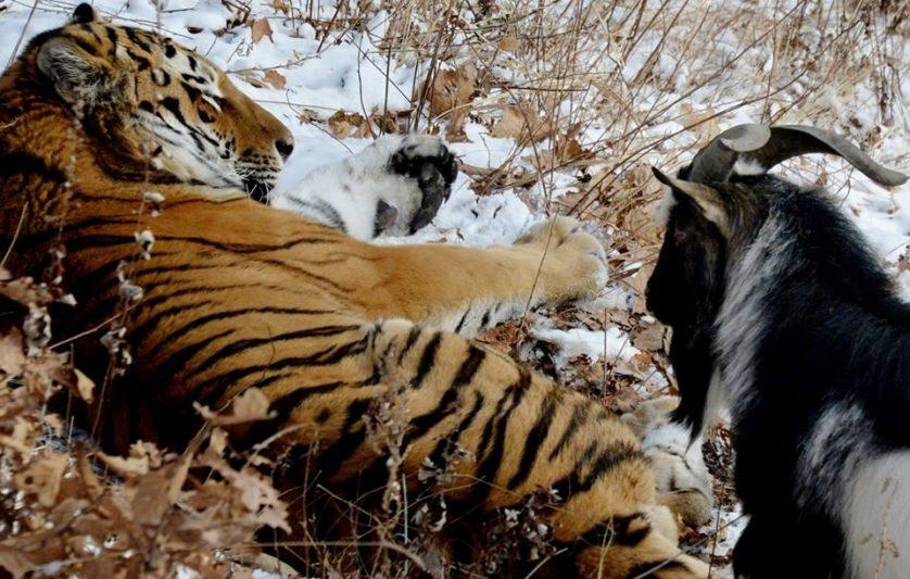 tigre e bode amigos 2