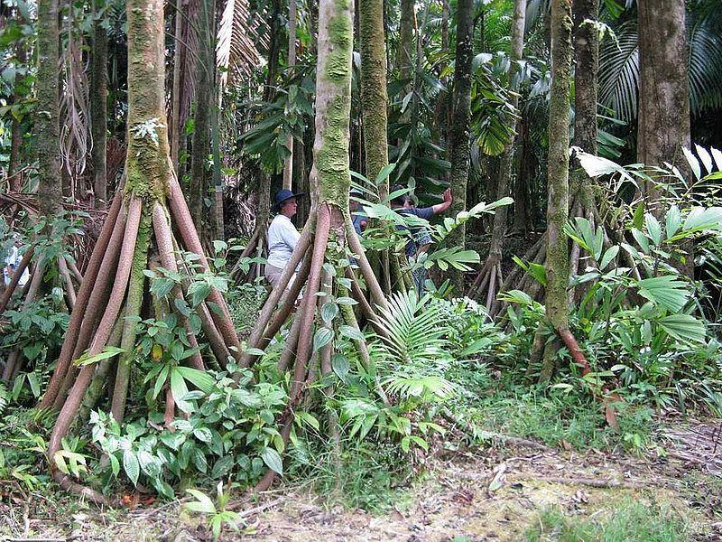 alberi che camminano all'equatore 2