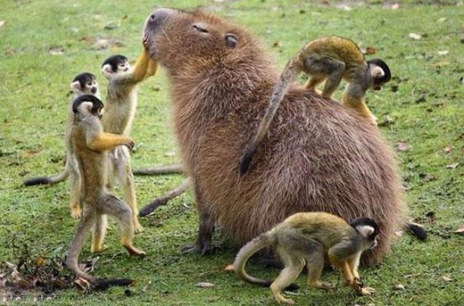 capibara con altri animali (11)