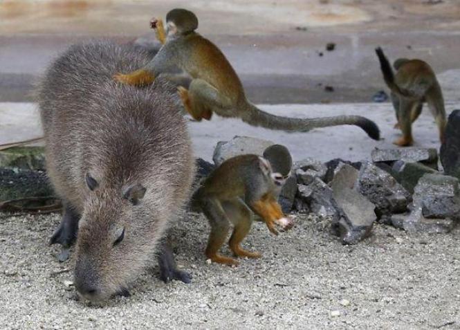 capibara con altri animali (14)