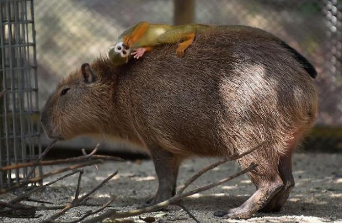 capibara con altri animali (17)