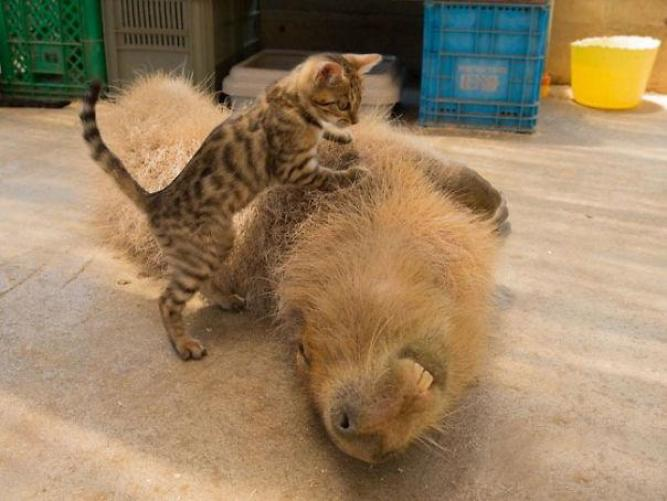 capibara con altri animali (18)