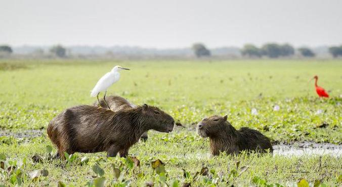 capibara con altri animali (22)
