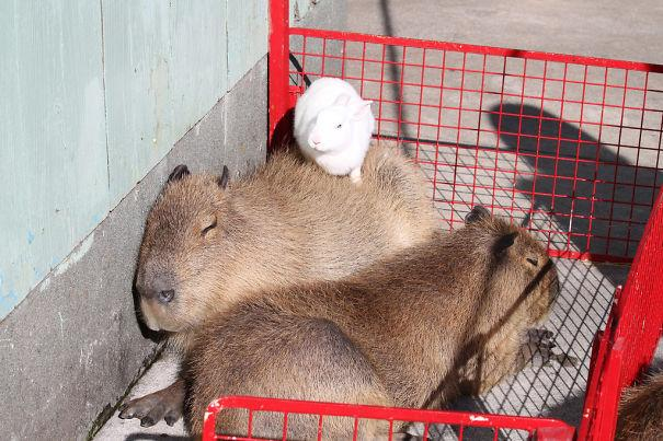 capivara com outros animais (5)