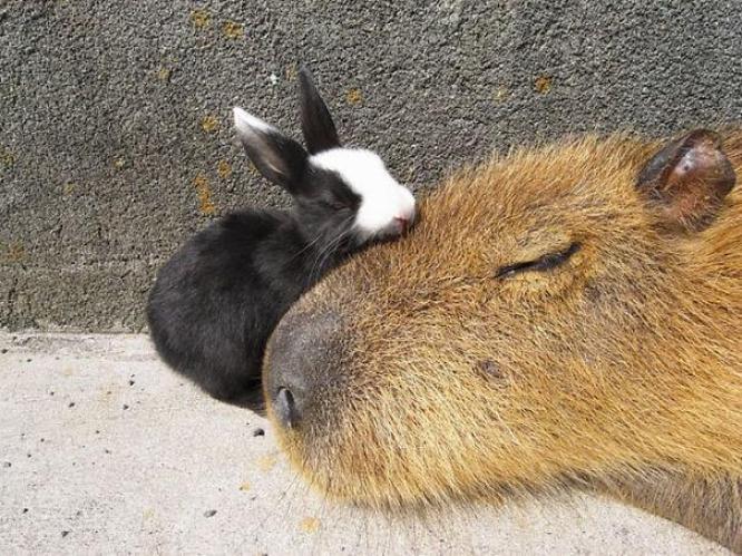 capibara con altri animali (6)