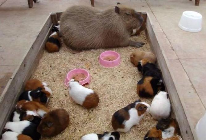 capibara con altri animali (7)