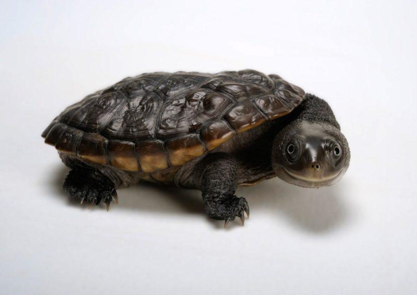 Chelodina reimanni, tartaruga de pescoço de cobra de Reimann, ganhou este nome pelo pescoço comprido.