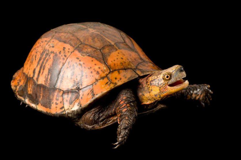 Cuora galbinifrons, uma tartaruga bastante ameaçada da China, Laos e Vietname