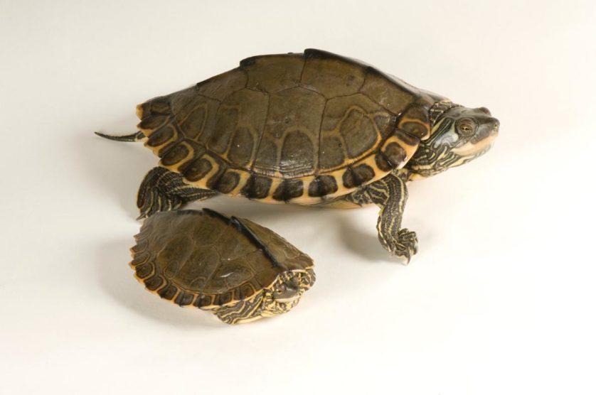 Graptemys gibbonsi, a tartaruga do Rio Pérola, uma espécie ameaçada, sua população declinou entre 80 e 90% desde os anos 1950