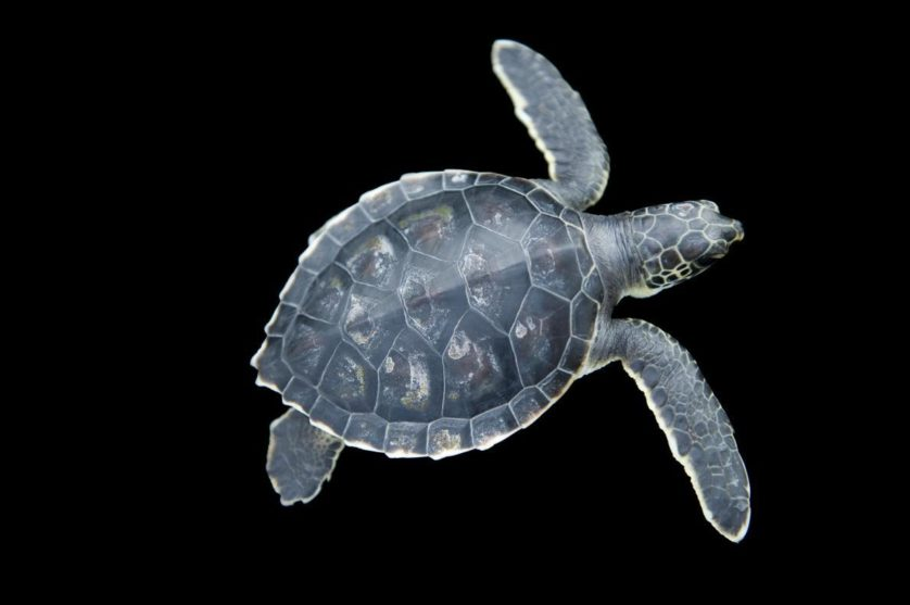 Chelonia mydas, a tartaruga marinha verde, é uma espécie ameaçada. Quando este bebê crescer, poderá pesar mais de 310 kg.=