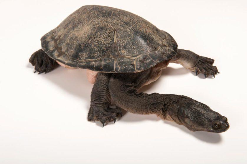 Chelodina expansa, a tartaruga de pescoço longo e casco grande, tem este nome por motivos óbvios