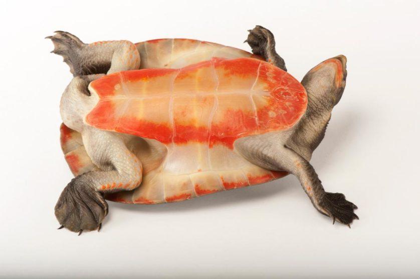 Emydora subglobosa, mostrando por que seu nome é tartaruga de barriga vermelha e pescoço curto