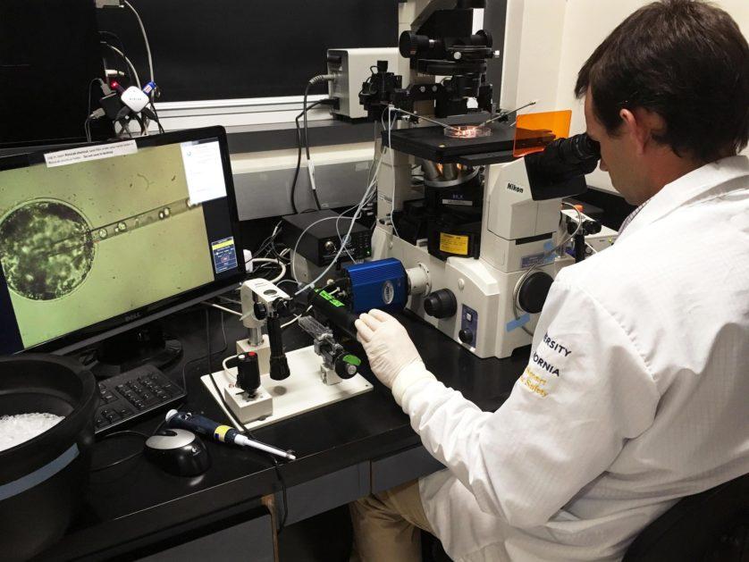 Dr. Pablo Ross entra nelle cellule staminali umane in embrione di maiale per creare embrioni chimerico.