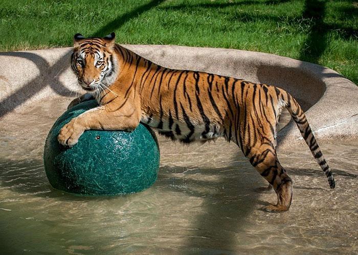 tigresa resgatada (3)