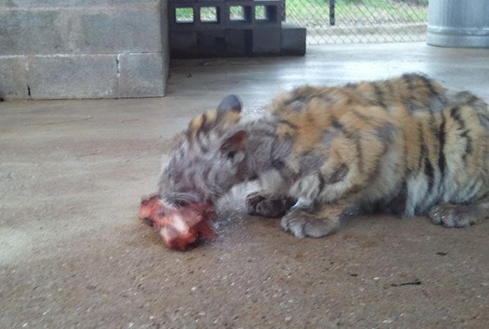 tigresa resgatada (8)