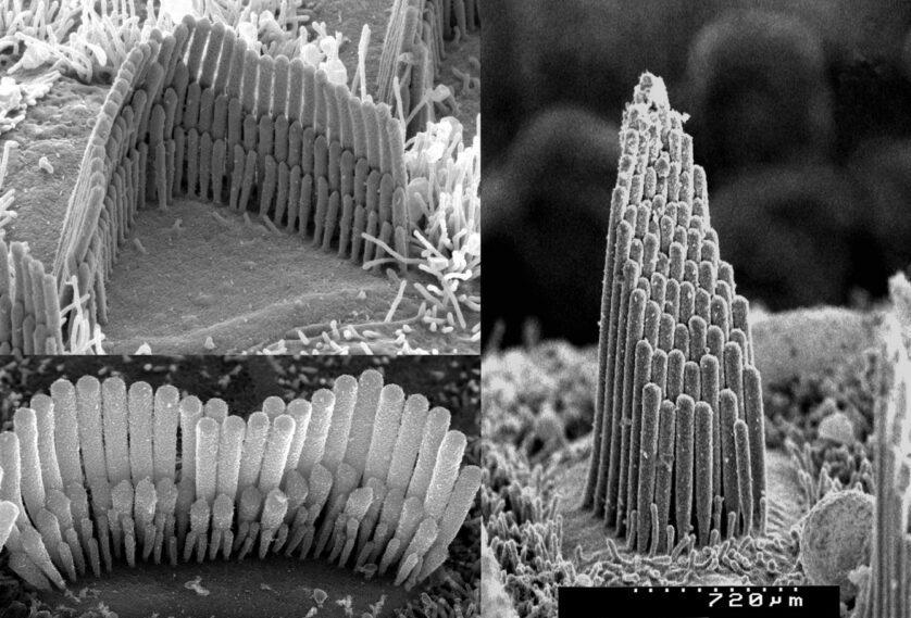 Cellule ciliate dell'orecchio interno di una cavia