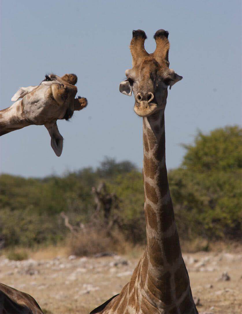 Fotos engraçadas de Girafas