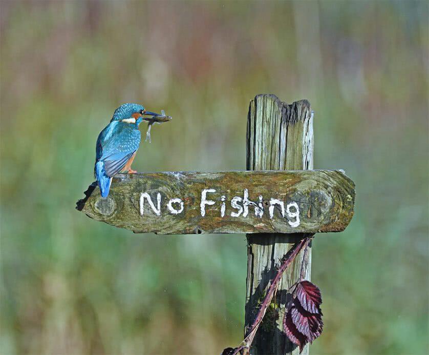 Foto engraçada de uma ave martim pescador