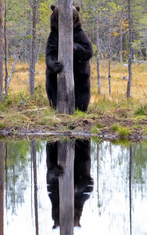 Foto engraçada de urso marrom
