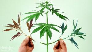 cannabis grafting
