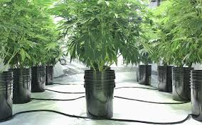 cannabis growing containers