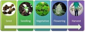 cannabis growth cycle