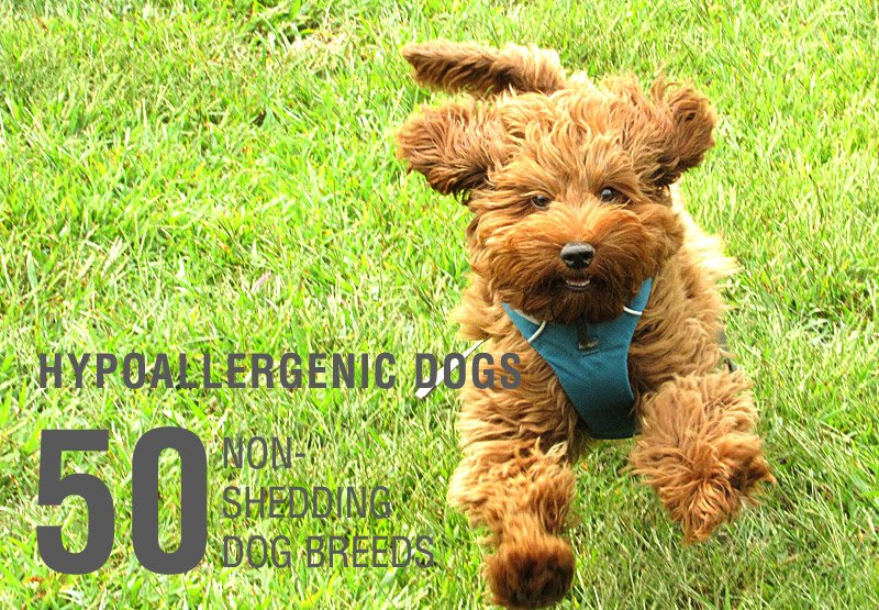 List Of Small Dog Breeds Alphabetical | Dog Breeds Picture