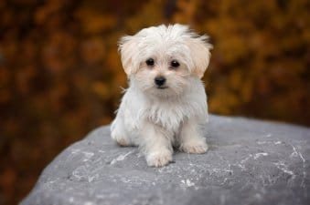 Hypoallergenic Dogs: 50+ Non-Shedding Dogs 2020