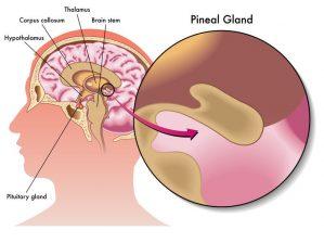 pineal gland photo