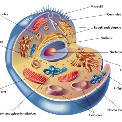 Animal Cell Diagram Labeled With Functions Vrcd400 Sdu Wiring 2 Why Don 39t I Have Any Energy All About Your Mitochondria