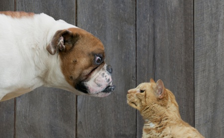 cat vs dog