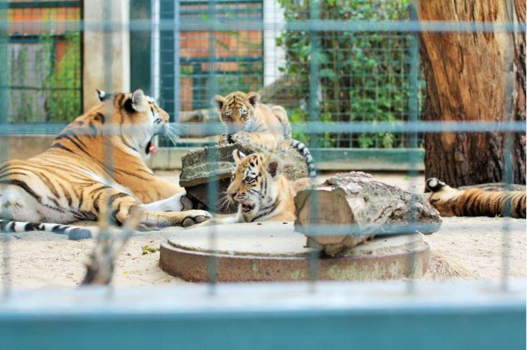 tigres tierpark berlin
