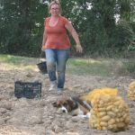 Récolte pommes de terre bio
