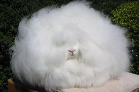 Le lapin le plus poilu au monde