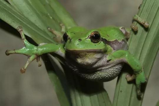 La rainette verte  Ces animaux qui vivent la nuit