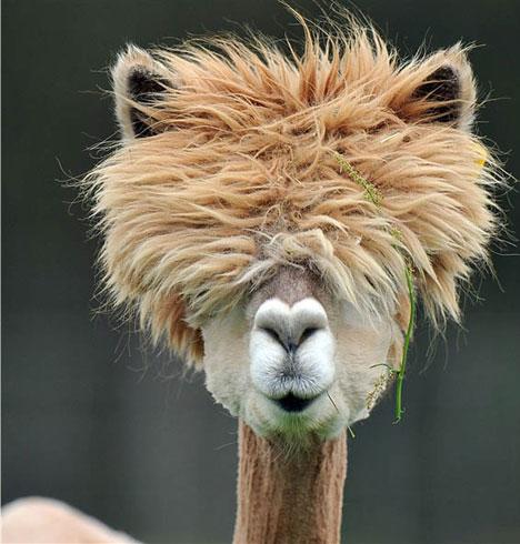 Better than Machu Pichu: Shaved Llamas