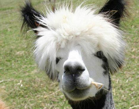 Funny Peruvian Llamas Better than Machu Pichu: Shaved Llamas