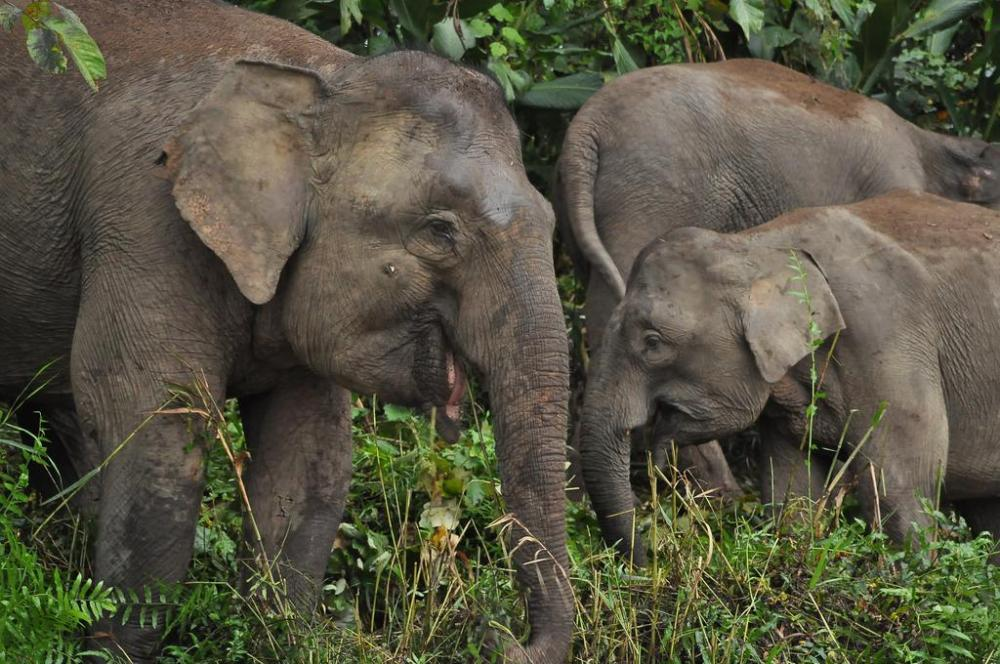 Borneo Nature Lodge. Asian Elephants.