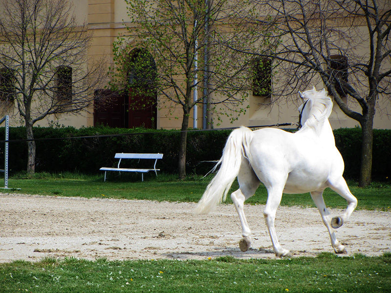 stud farm lipica slovenia Training a Lipizzan at the Equestrian Park