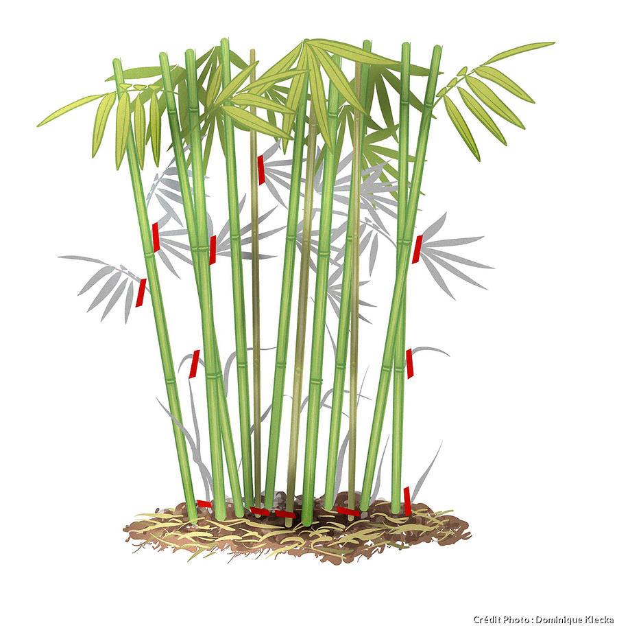 reussir la taille du bambou en 3 etapes