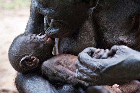 Bonobo kiss-baby