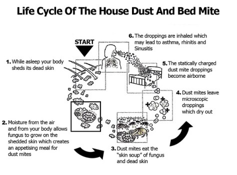 Dust-Mite-Life-Cycle B