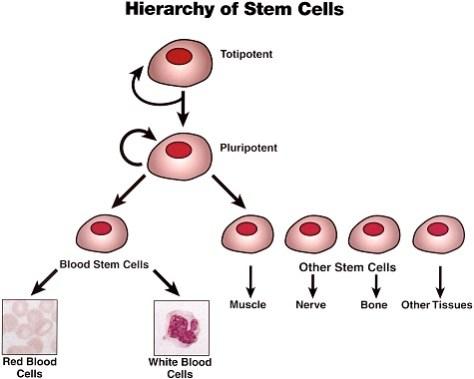 stem-cells 475