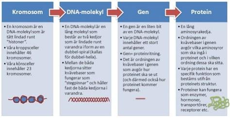 Skillnad kromosom till protein 475