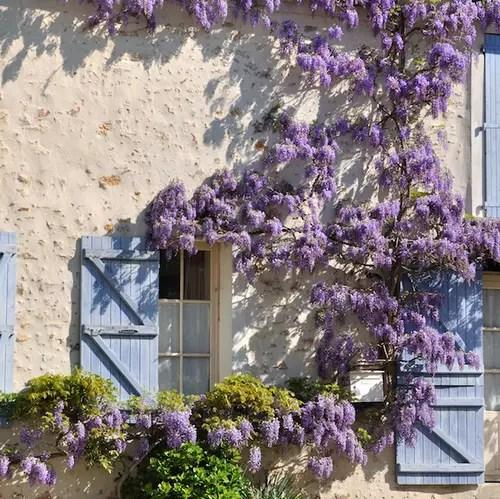 Piante rampicanti facciate pergolati e appartamenti fioriti
