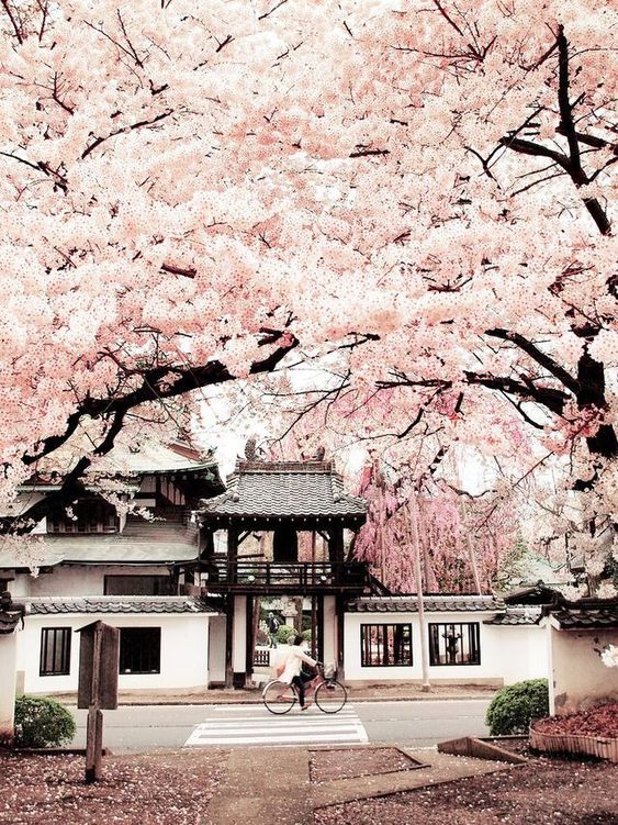 #Japan is at the top of my bucket list. I would love to visit during #cherryblossom season!
