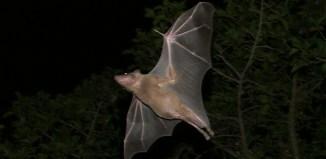 עטלפי פירות משתמשים בהתמצאות באמצעות תהודה