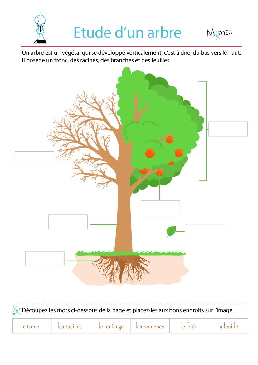 Cycle De Vie D'un Arbre : cycle, arbre, L'étude, Arbre, MOMES.net