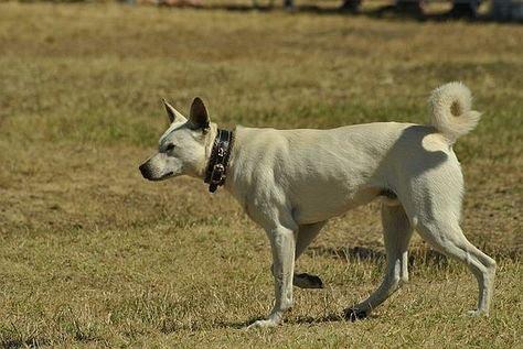 Sinka kutya munka közben  Ismered a 'hüvelykujjas' kutyát? Hát azt, miféle kutya a sinka?  Két igazán különleges fajtát mutatunk most be nektek!  #sinka #kutya #kutyabaráthelyek